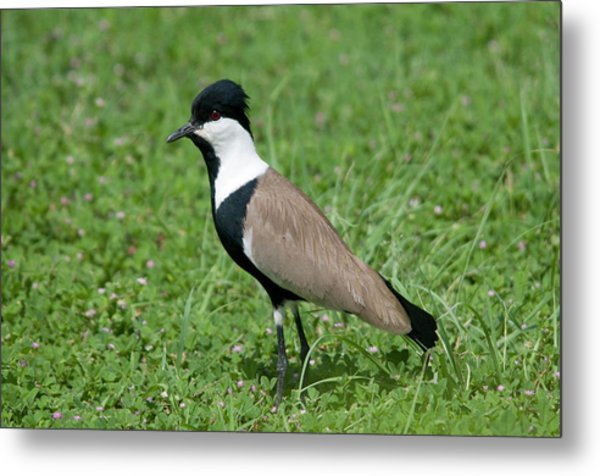 Spur-winged Plover Metal Print