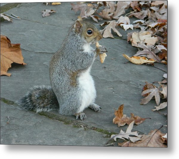 Squirrel Chomping On Bread Metal Print