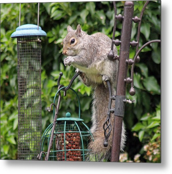 Squirrel Eating Nuts Metal Print