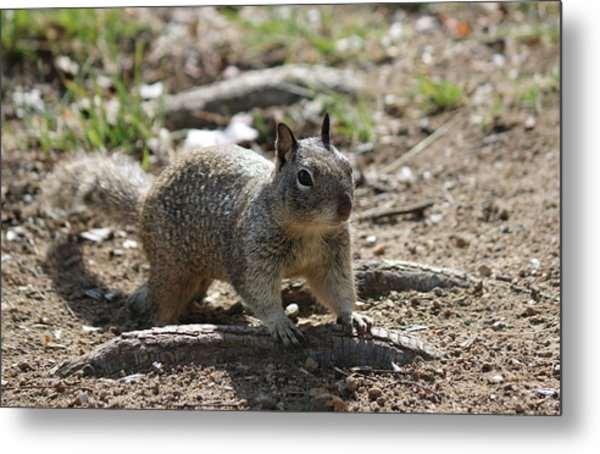 Squirrel Play  Metal Print