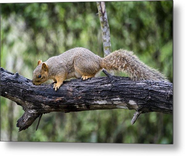 Squirrel Snacking Metal Print