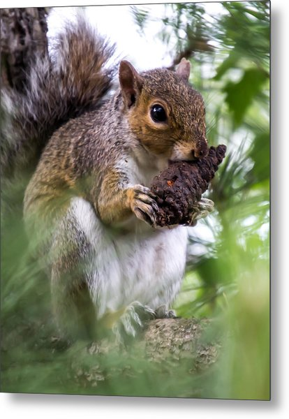 Squirrel With Pine Cone Metal Print