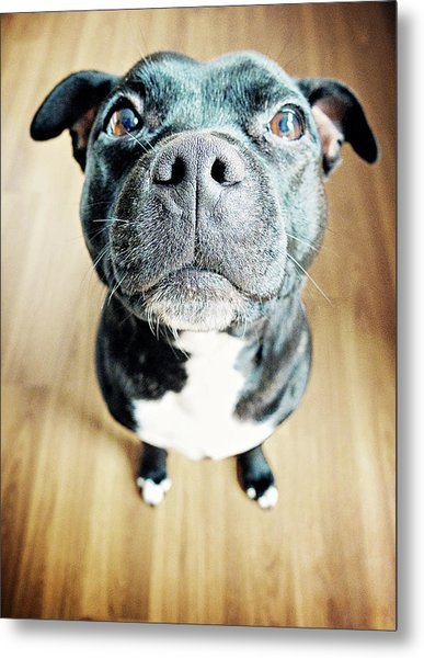 Staffordshire Bull Terrier Metal Print by Michelle Mcmahon