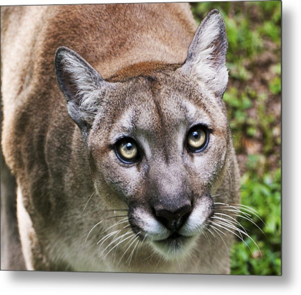 Metal Print featuring the photograph Stalking Cougar by Donna Proctor