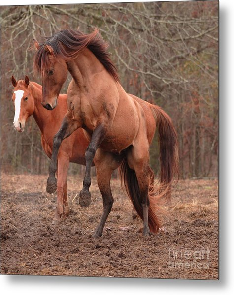 Stallion Rearing Metal Print by Russell Christie