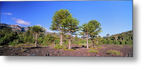 Stand Of Monkey Puzzle Trees (araucaria Metal Print by Martin Zwick