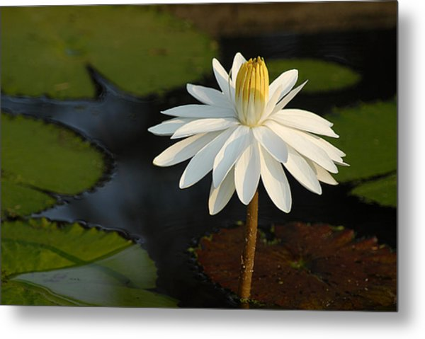 Stand Tall Lily Metal Print