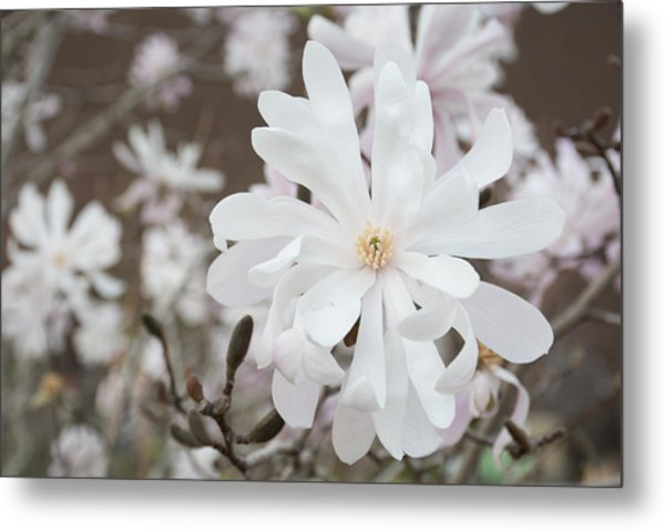 Star Magnolia Soft Metal Print by Priyanka Ravi