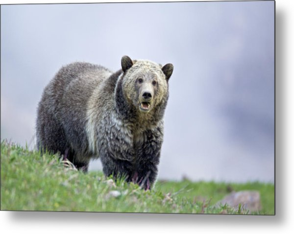 Steamboat Grizzly Metal Print