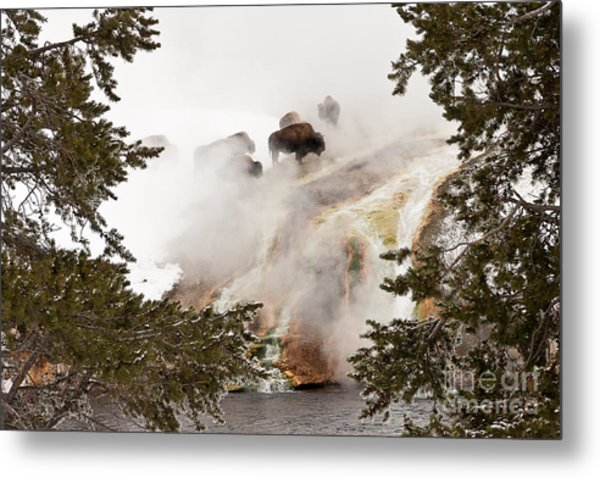 Steamy Bison Metal Print