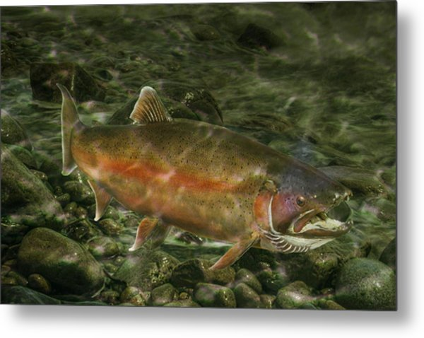Steelhead Trout Spawning Metal Print