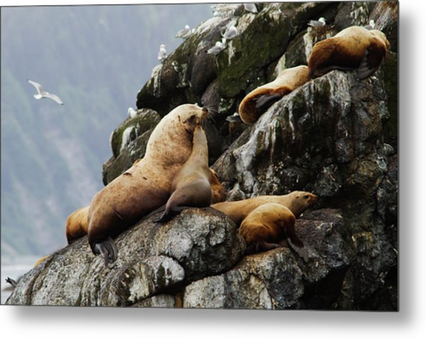 Steller Sea Lions Eumetopias Jubatus Metal Print