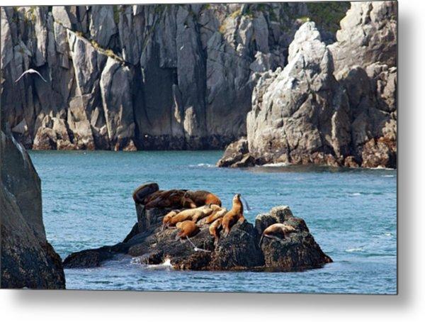 Steller Sea Lions On Coastal Rocks Metal Print