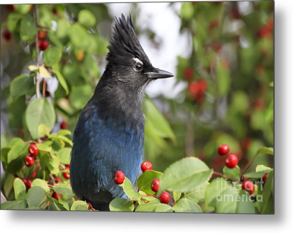 Steller's Jay And Red Berries Metal Print