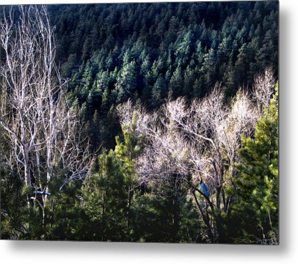 Steller's Jay Near Greyrock Mountain Colorado Metal Print by Ric Soulen