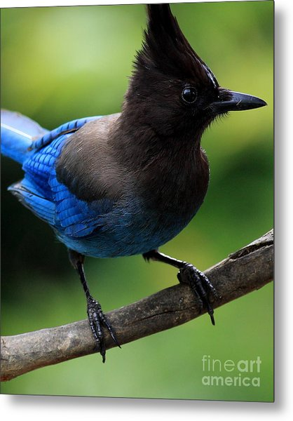 Stellers Jay Metal Print by Wingsdomain Art and Photography