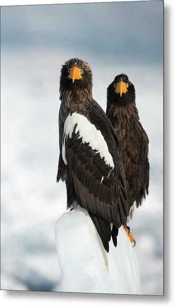 Steller's Sea Eagles Metal Print