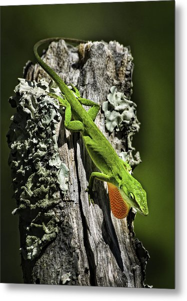 Stressed Anole Metal Print