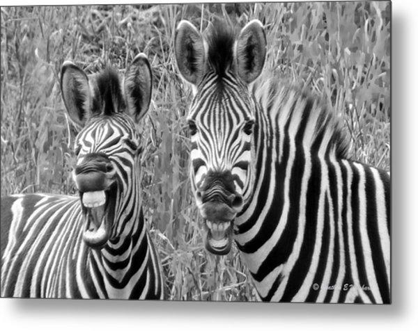 Striped Donkeys Zebra Chapman's Race Metal Print by Jonathan Whichard