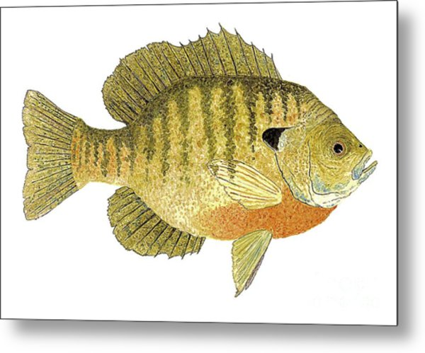 Study Of A Bluegill Sunfish Metal Print