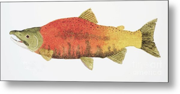 Study Of A Male Kokanee Salmon In Spawning Brilliance Metal Print