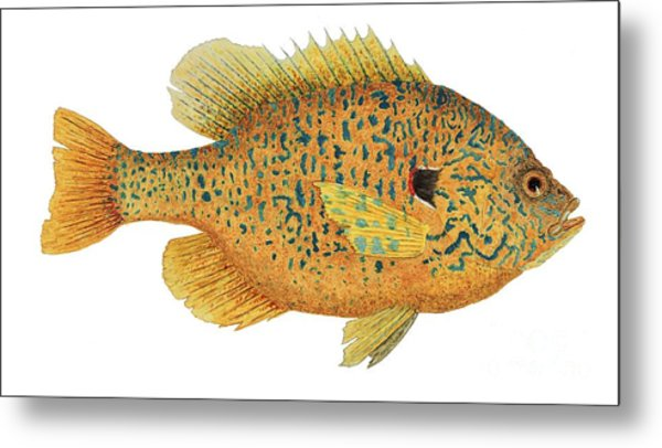 Study Of A Male Pumpkinseed Sunfish In Spawning Brilliance Metal Print