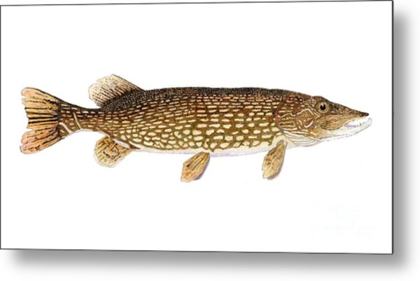 Study Of A Northern Pike Metal Print