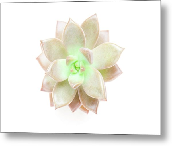 Succulent Plant On White Metal Print by Chris Parsons