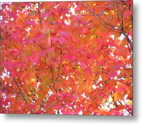 Sugar Maple Metal Print