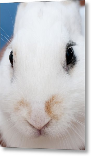 sugar the easter bunny 1 -A curious and cute white rabbit close up Metal Print