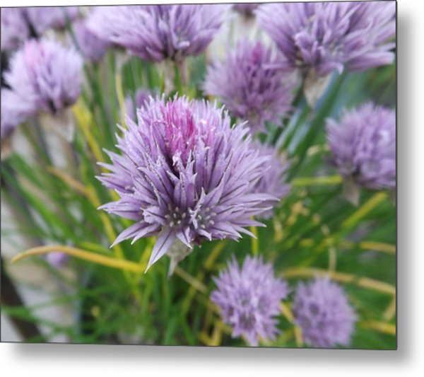 Summer Chives Metal Print