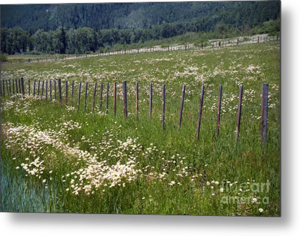 Summer Daises Metal Print