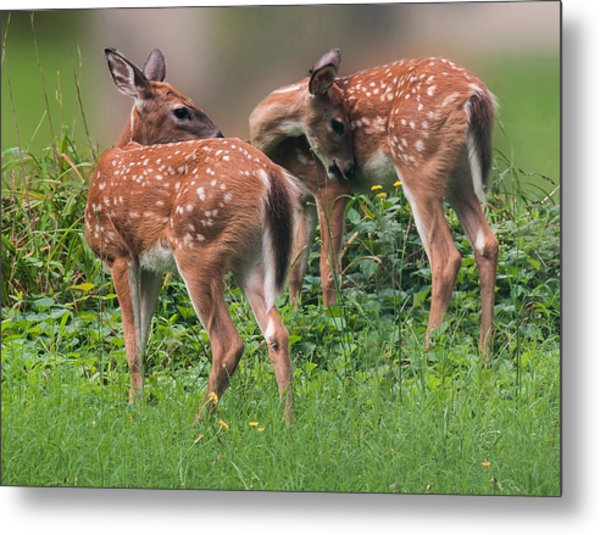 Summer Fawns Metal Print