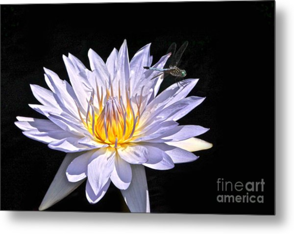 Summer Magic -- Dragonfly On Waterlily On Black Metal Print