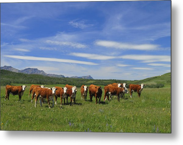 Summer Pastures Metal Print by Clay and Gill Ross