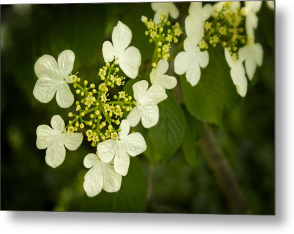 Metal Print featuring the photograph Summer Snowflakes Viburnum  by Ben Shields