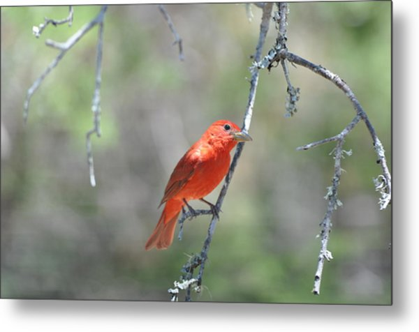 Summer Tanager Metal Print