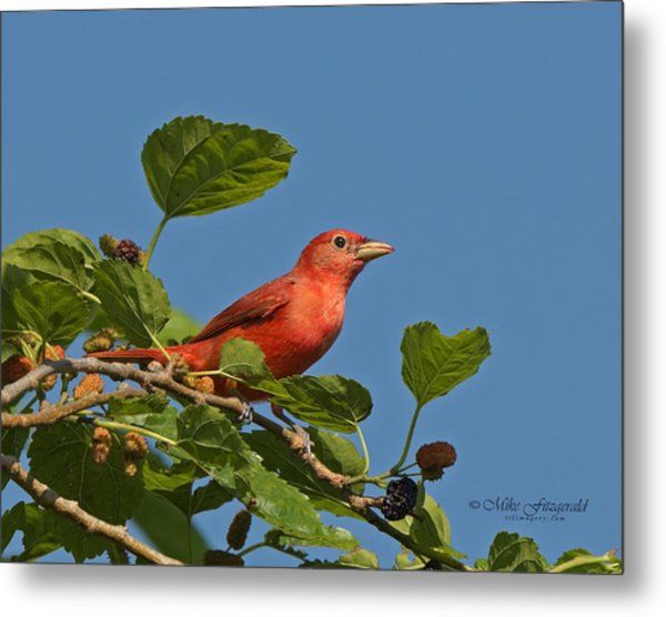 Summer Tanager Metal Print by Mike Fitzgerald