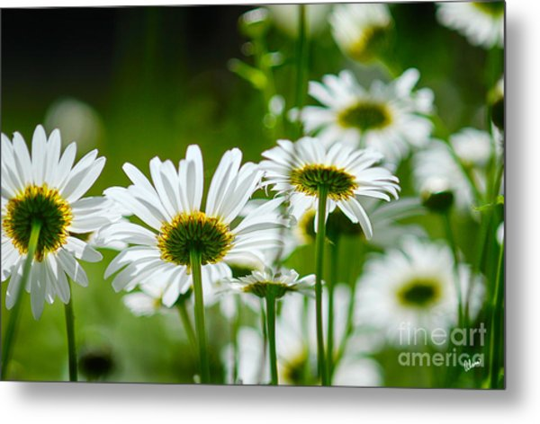 Summer Time Daisys Metal Print