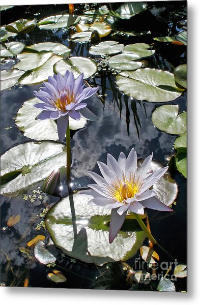 Sun-drenched Lily Pond         Metal Print