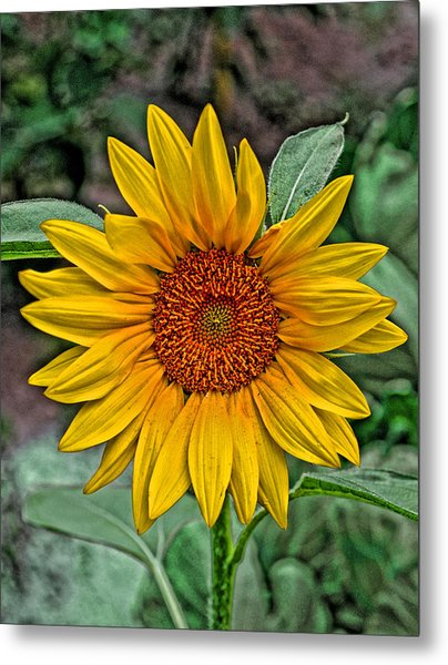 Metal Print featuring the photograph Sun Flower by David Armstrong