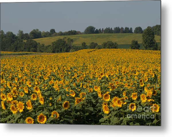 Sun Flower Sea Metal Print