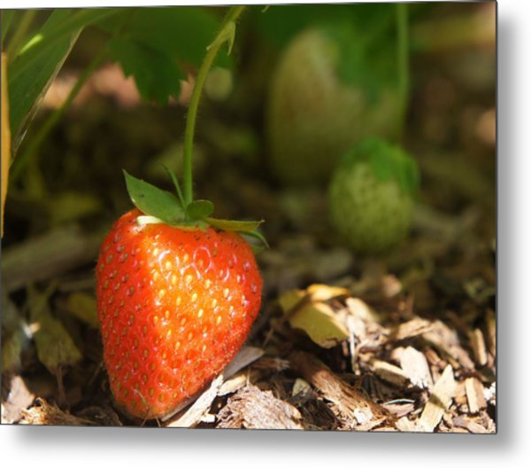 Sun Kissed Strawberry Metal Print