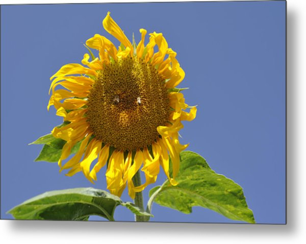 Sunflower At Latrun Metal Print