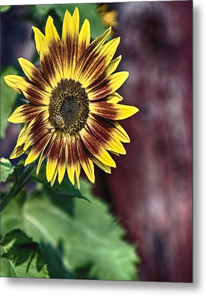 Sunflower At The Barn Metal Print
