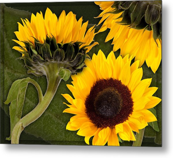 Metal Print featuring the photograph Sunflower  by Bob Coates