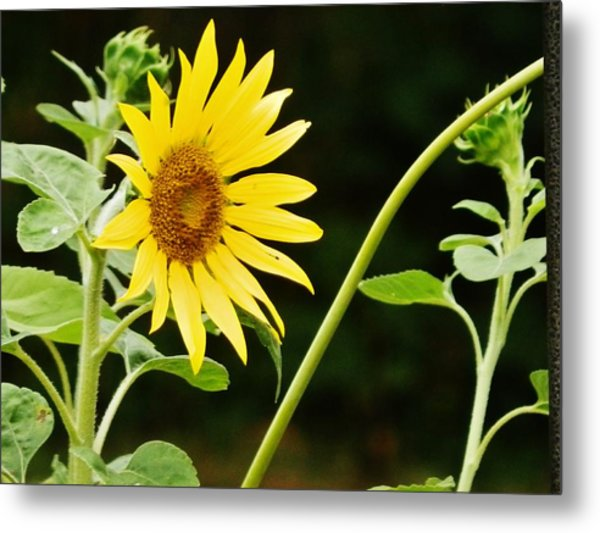 Sunflower Cheer Metal Print