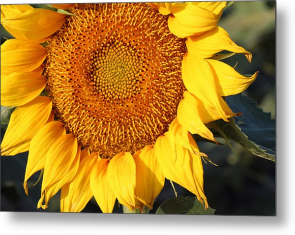 Sunflower - Closeup Metal Print