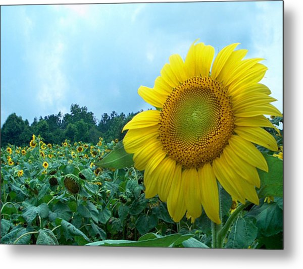 Sunflower Field Of Yellow Sunflowers By Jan Marvin Studios  Metal Print