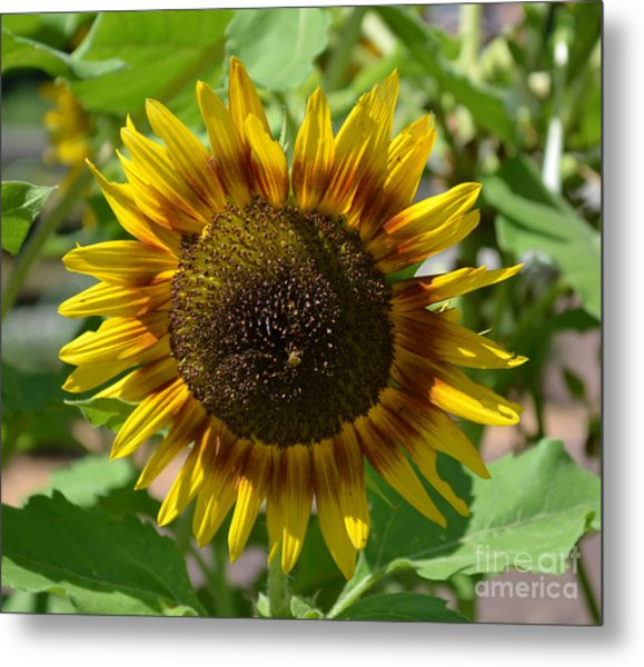 Sunflower Glory Metal Print